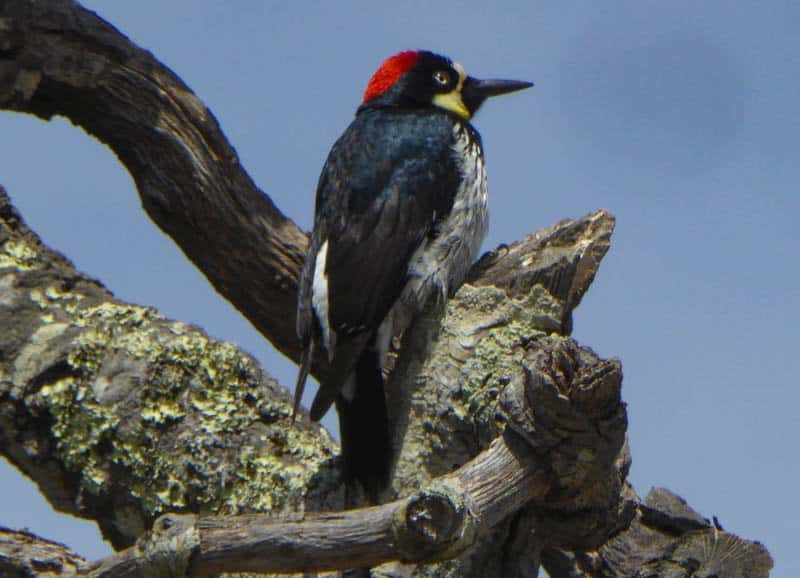 Acorn woodpecker in California