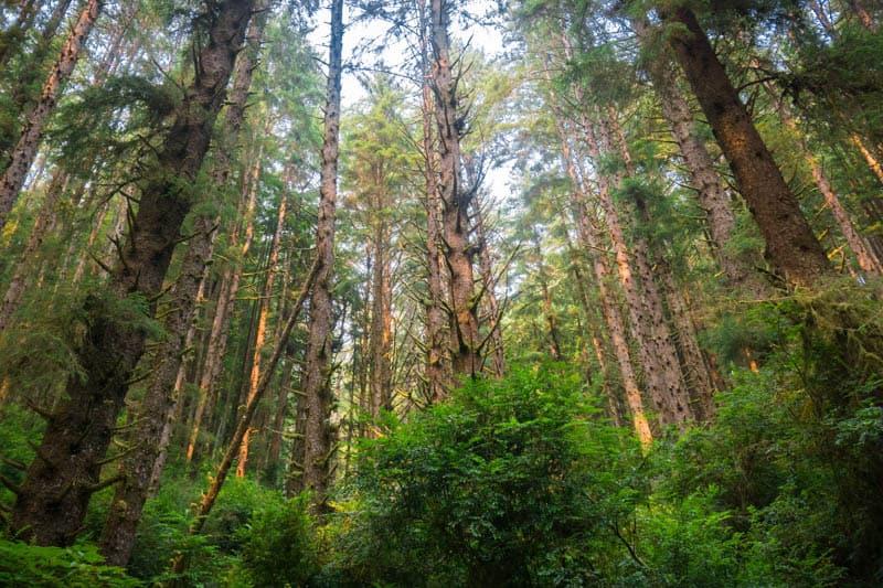 Redwood Trees in Prairie Creek Redwoods State Park California