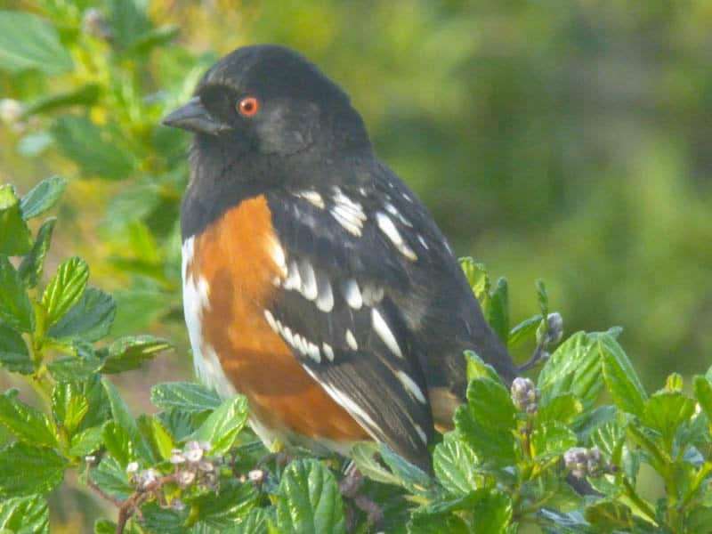 Spotted Towhee, California