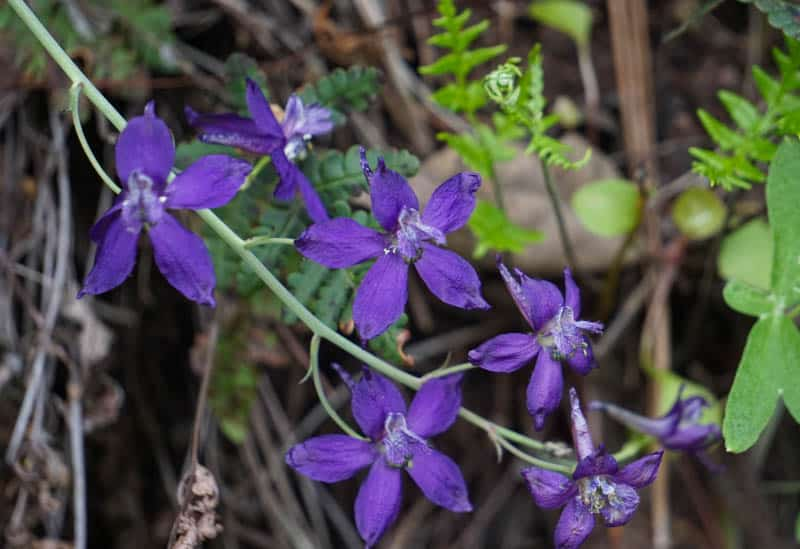 Purple wildflowers at Pinnacles National Park in March