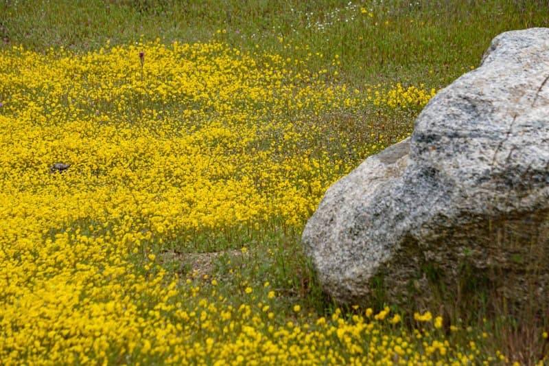 Profuse wildflower bloom at Pinnacles National Park