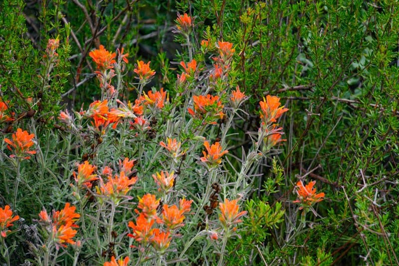 Wildflowers at Pinnacles National park in spring