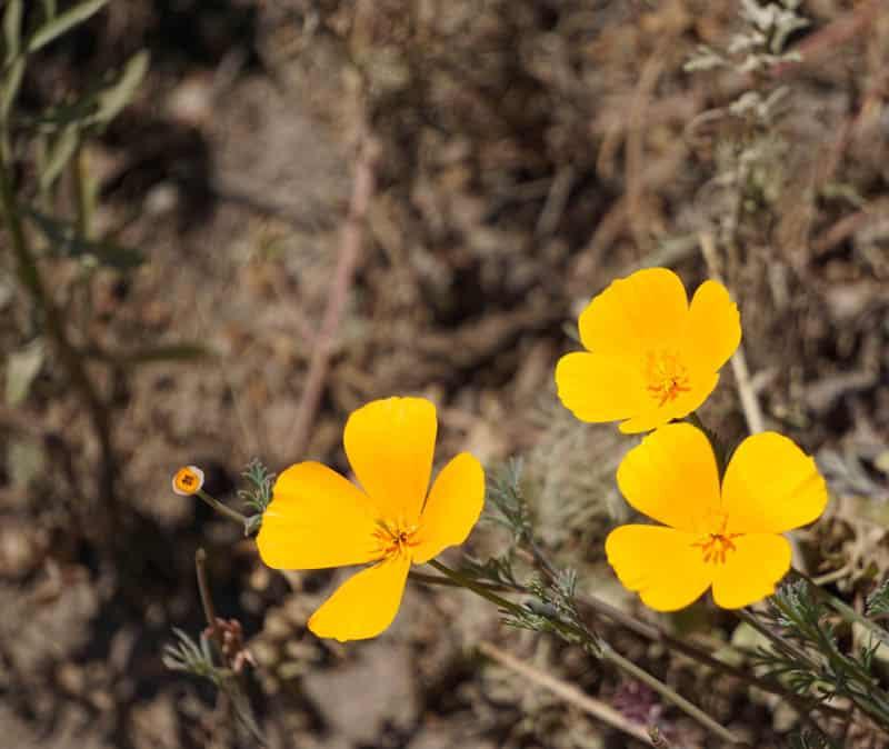 California Poppies Point Lobos State Reserve Carmel