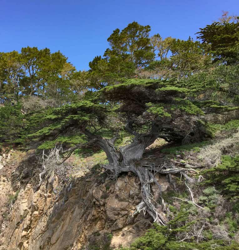 Old Veteran Cypress at Point Lobos in Carmel California
