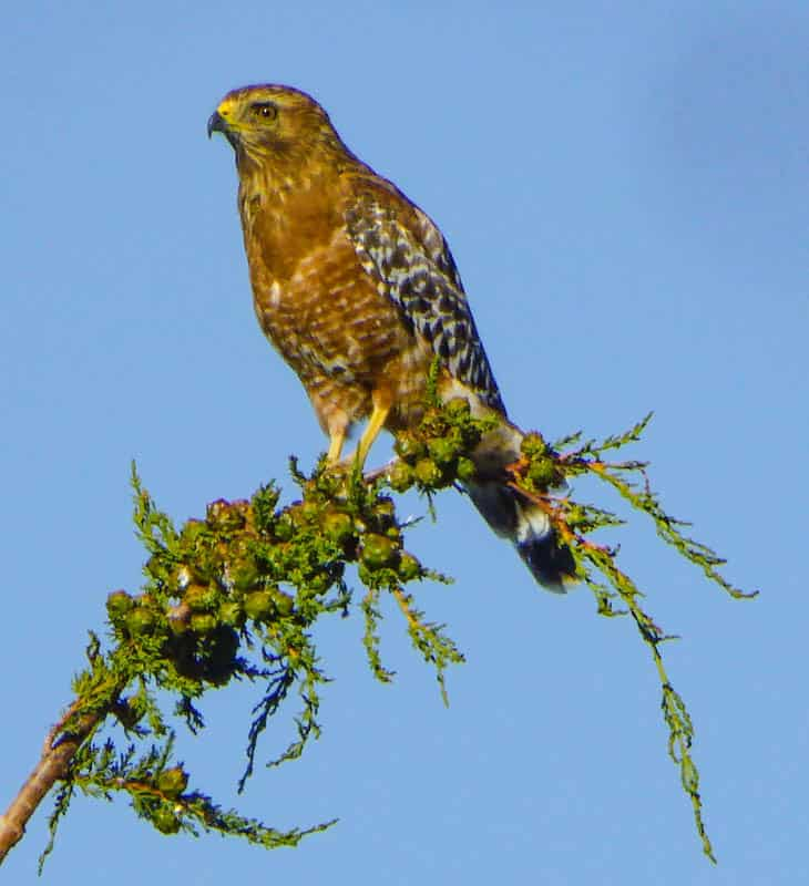 A red shouldered hawk is one of the raptor species you can see in Point Lobos State Park