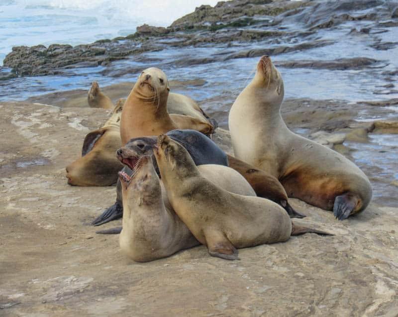 Sea lions in La Jolla California
