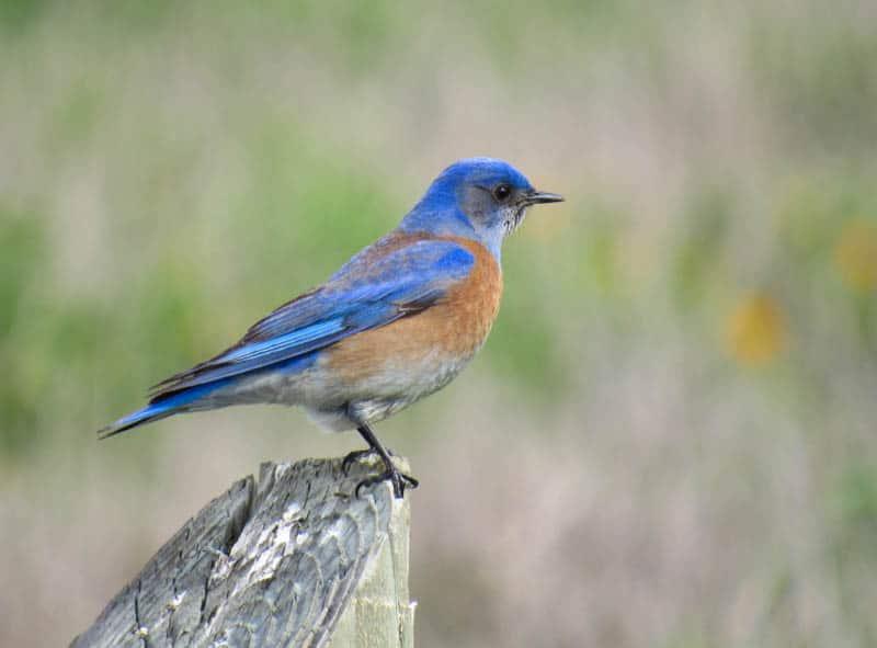 Western Bluebird California