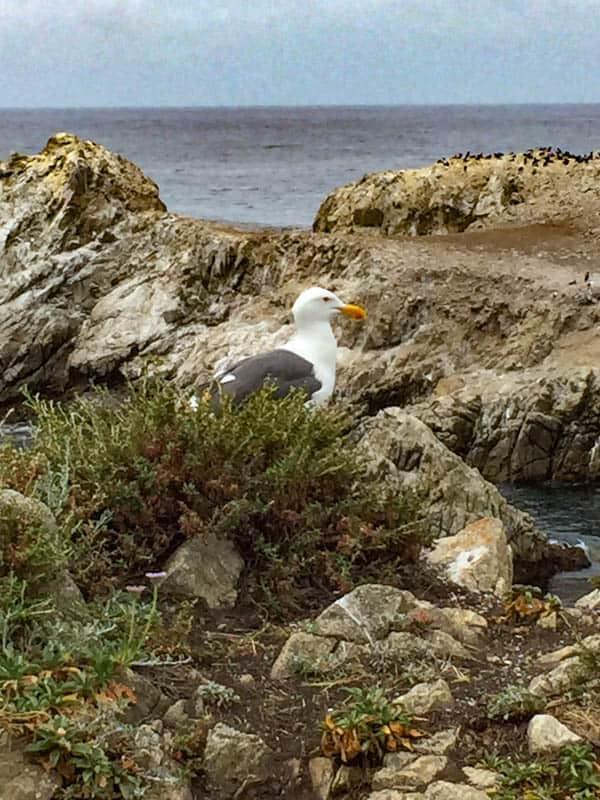 Western Gull Point Lobos Carmel California