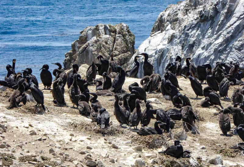 Brandt's cormorants on Bird Island in Point Lobos State Reserve California