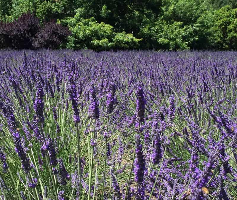Lavender in bloom in May in Sonoma County