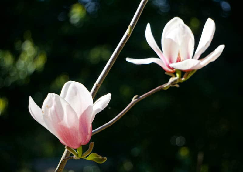 Magnolias at the San Francisco Botanical Garden