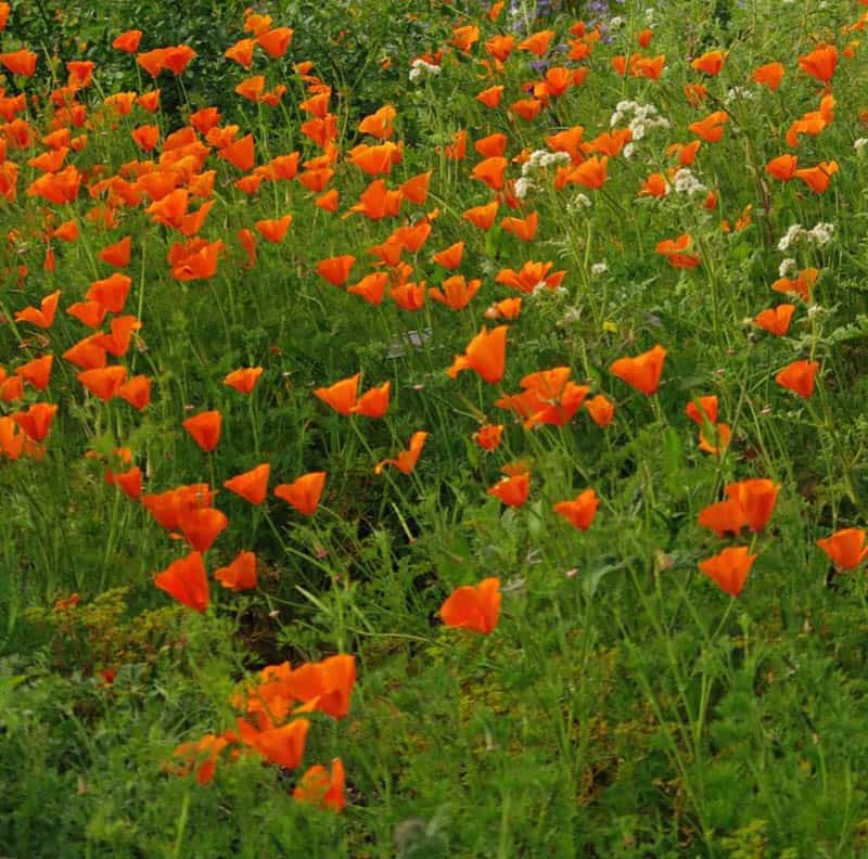 Poppies at Santa Barbara Botanic Garden in California