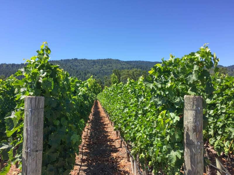 Vineyard in Healdsburg California
