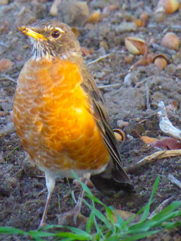 The American Robin is one of the birds you may see in Cambria