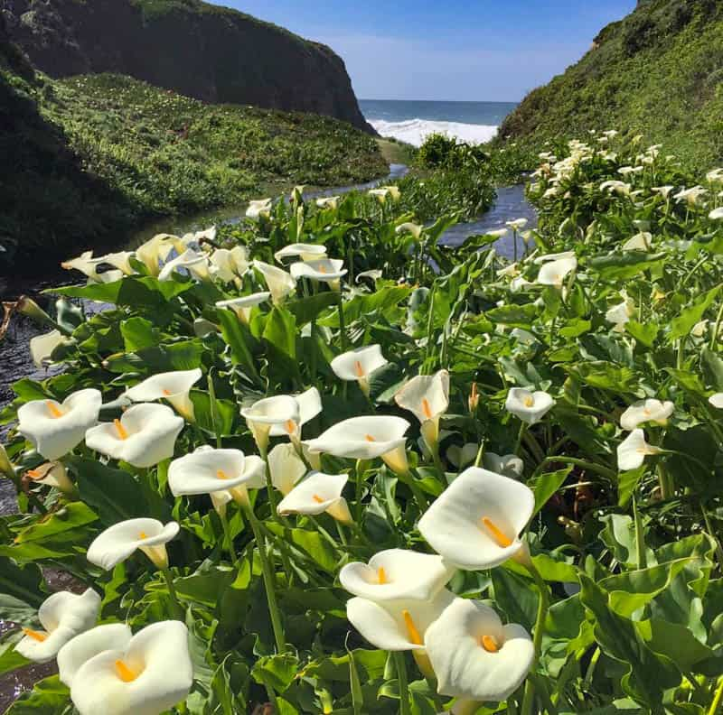 Calla Lily Valley Garrapata State Park Big Sur California