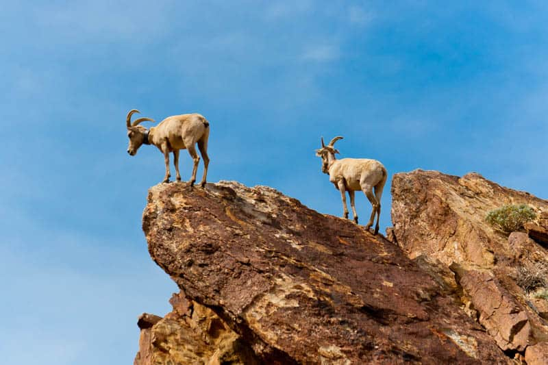Desert Bighorn Sheep in Anza Borrego State park in Southern California