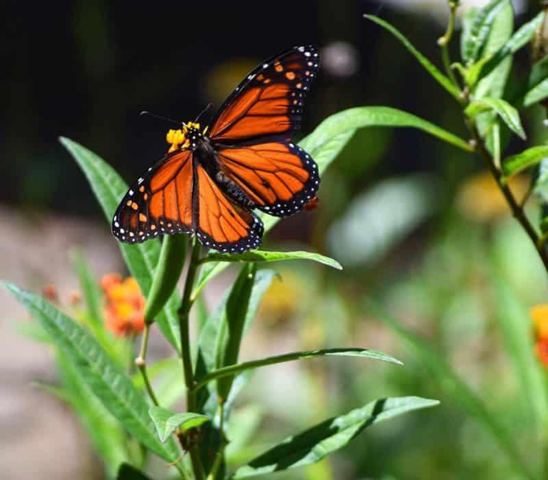 Monarch Butterfly Zoro Garden Balboa Park San Diego California