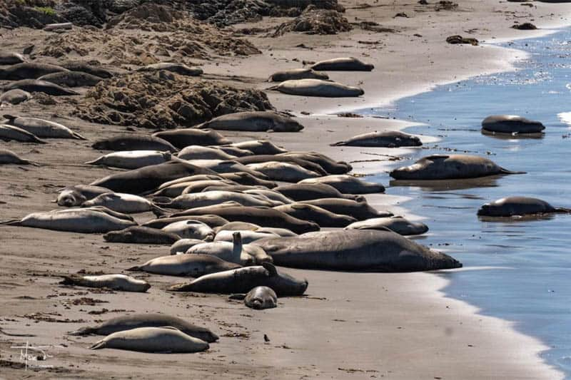 Piedras Blancas Elephant Seal Rookery San Simeon California