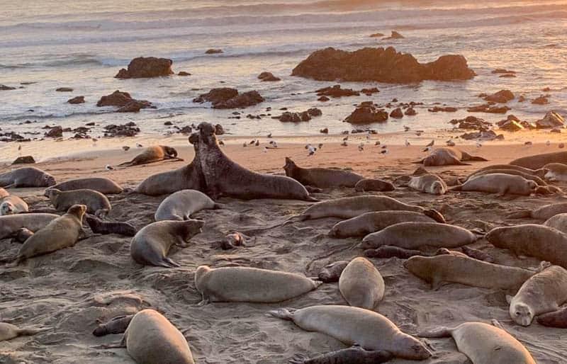Piedras Blancas Elephant Seal Rookery in San Simeon