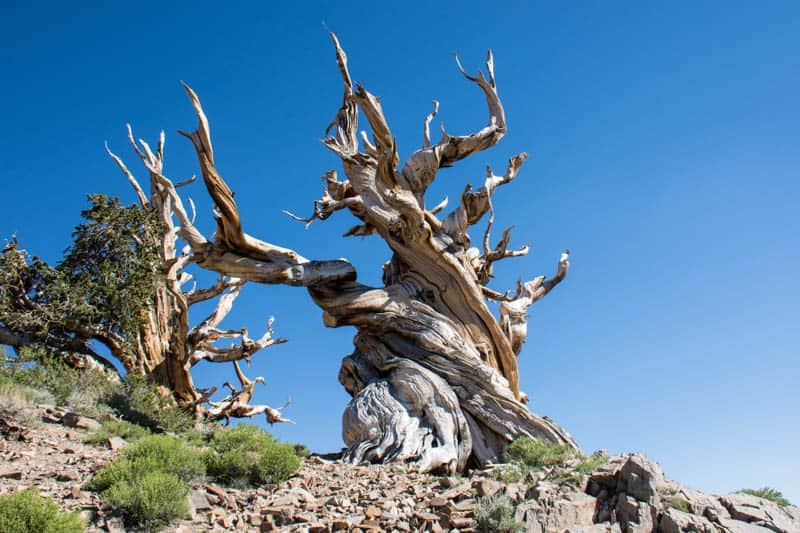 A bristlecone pine in Ancient Bristlecone Pine Forest California