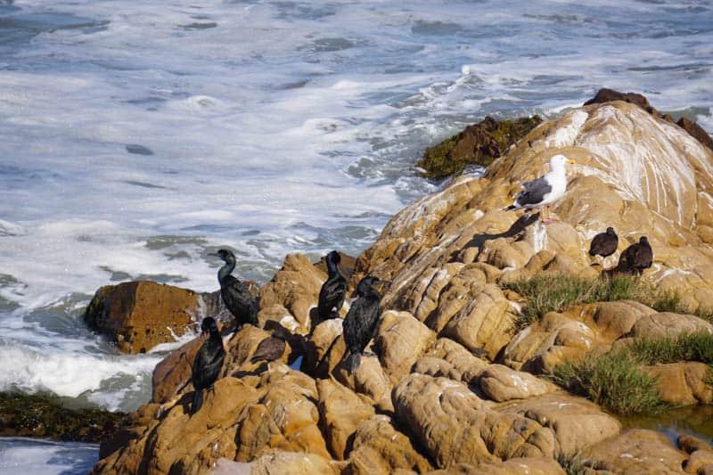 Birds on rocks near Leffingwell Landing Cambria California