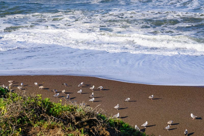 Gulls and other birds on the black sand Moonstone Beach in Cmbria California