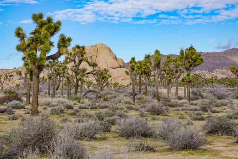 A field of Joshua trees in Joshua Tree National Park Southern California
