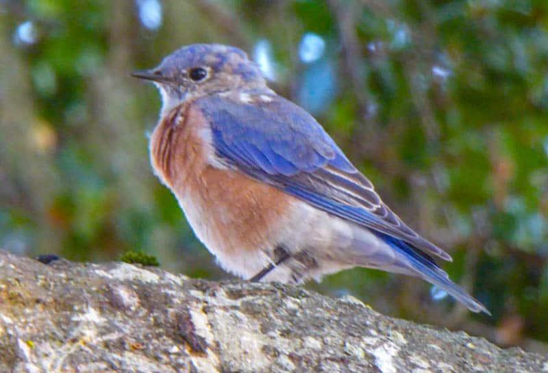 Western Bluebird Central California Coast