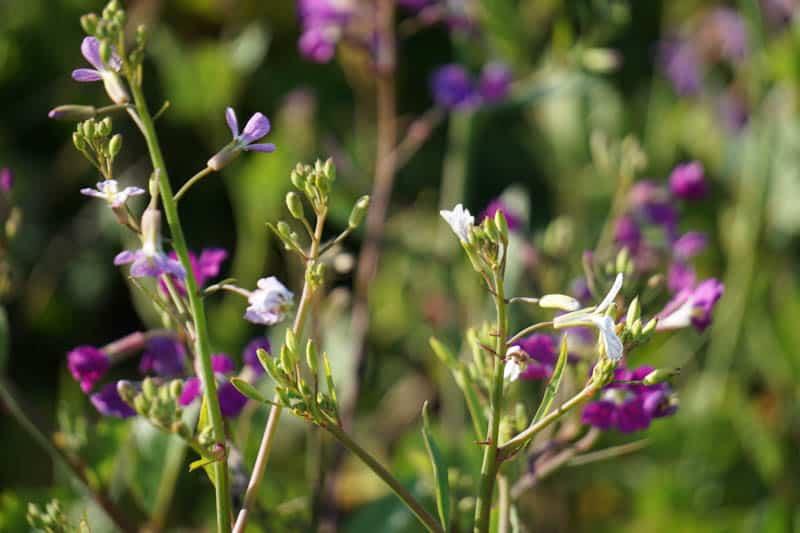 Wildflowers line the Moonstone Beach Boardwalk trail in spring