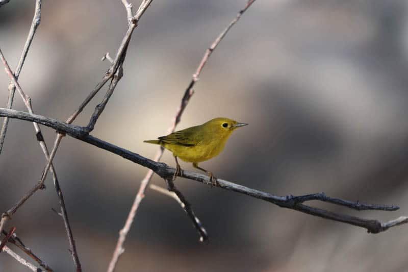 Yellow warbler spotted in the willow wetlands at Whitewater Preserve in Whitewater, California