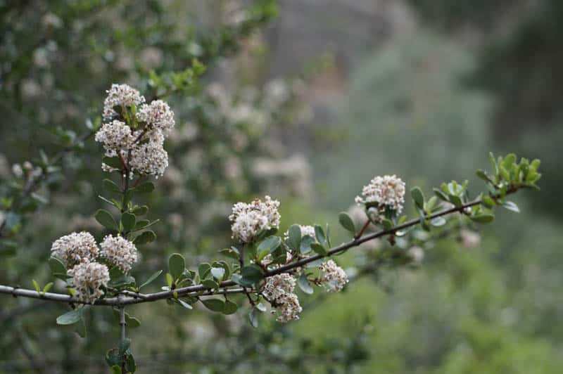 Blooming Bush at Pinnacles National Park in spring