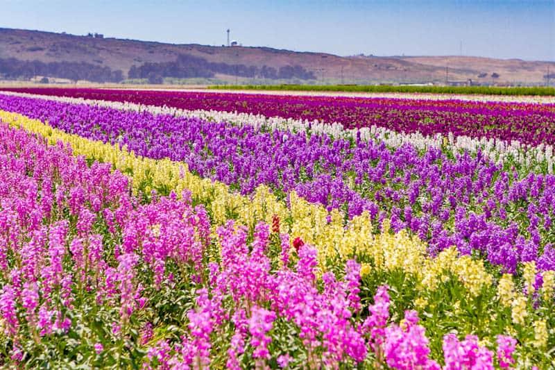 Flower fields in Lompoc California