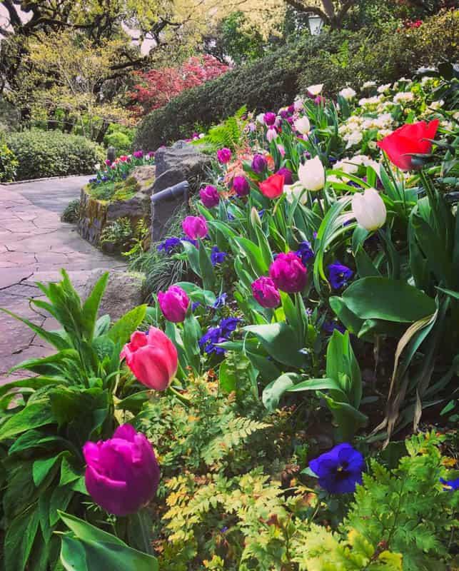 Tulips in bloom at Far Niente Winery