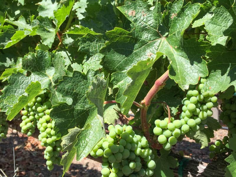 Grape vines with bunches of grapes