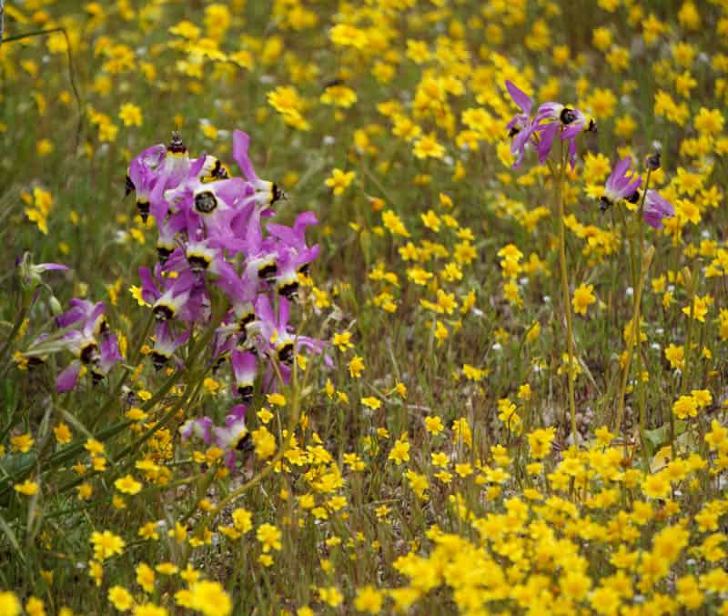 Wildflowers at Pinnacles NP