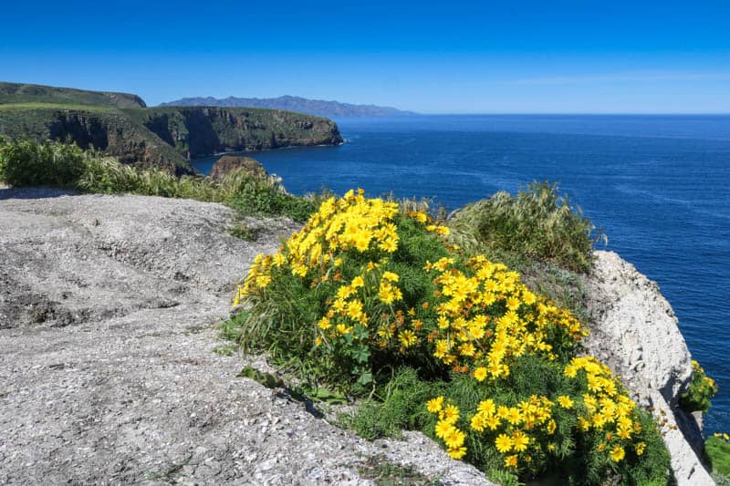 Wildflowers on Santa Cruz Island in the Channel Islands National Park