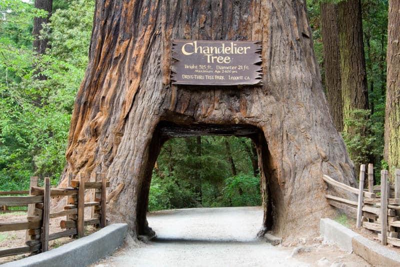 Chandelier Tree in Leggett California