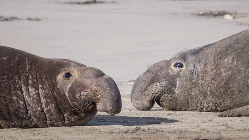 Elephant Seals at Ano Nuevo State Park California