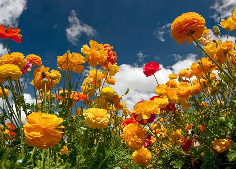 Ranunculus in bloom in Carlsbad California