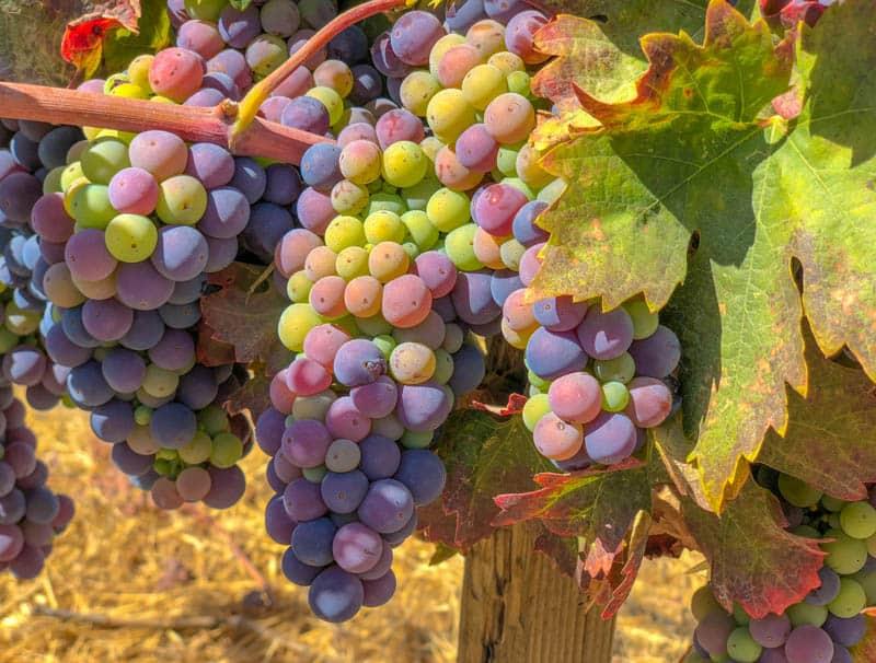 Grapes at a Paso Robles vineyard