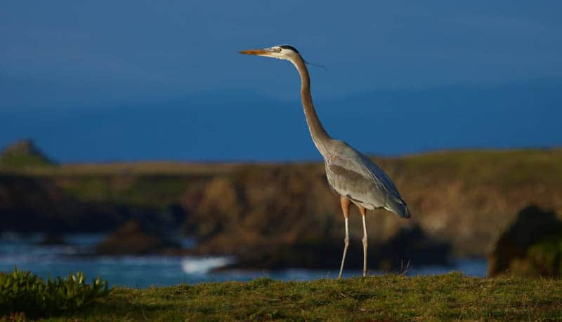 A great blue heron at Pomo Bluffs in Fort Bragg, California!