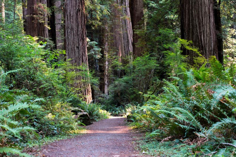 Trail in Henry Cowell Redwoods State Park, Santa Cruz, California