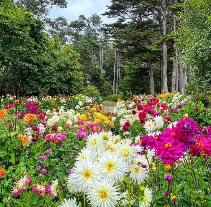 Dahlia Display at the Mendocino Coast Botanical Gardens in Fort Bragg California
