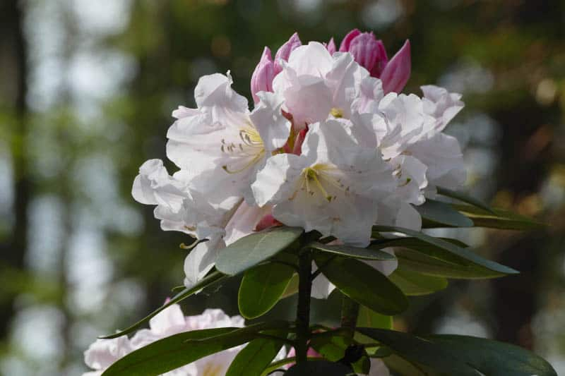 Rhododendrons in bloom at the Mendocino Coast Botanical Gardens in Fort Bragg