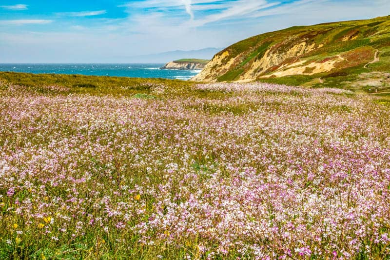 Wildflowers at Sonoma Coast State Park in California