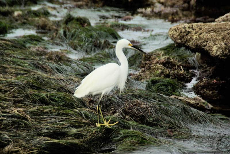 Egret at tidepools in Cabrillo National Monument in San Diego