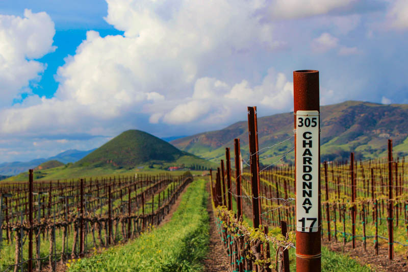 Vineyard in Edna Valley California