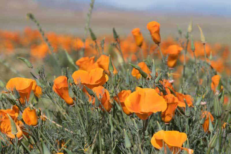 Antelope Valley Poppy Reserve California
