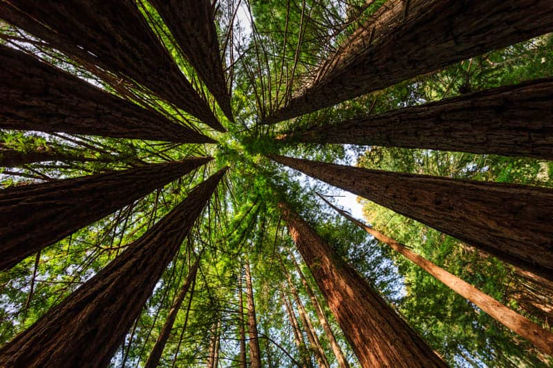 Canopy of redwood trees in Muir Woods National Monument in Northern California