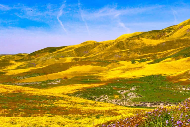Visit Carrizo Plain National Monument for spectacular wildflower displays in spring!